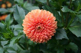 Wonderful Fiore Color Salmone Con Petali A Cannuccia