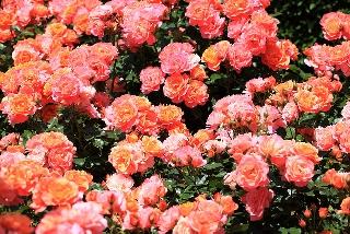 Giardino di rose multicolore fotoamore