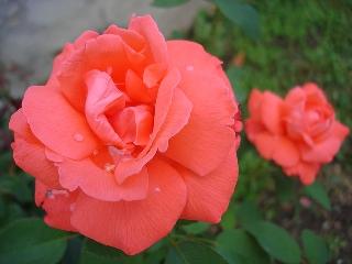 Immagini rose d'amore