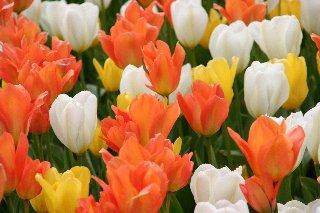 Tulipani arancioni gialli e bianchi for Tulipani arancioni
