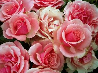 MERCOLEDÌ 21 SETTEMBRE - Pagina 3 Bouquet-rose